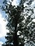 Frêne commun – Woluwé-Saint-Lambert, Parc de Roodebeek –  11 Juin 2014