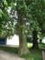 Platane à feuille d'érable – Woluwé-Saint-Lambert, Parc de Roodebeek - partie Sud –  11 Juin 2014
