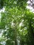 Platane à feuille d'érable – Woluwé-Saint-Lambert, Parc de Roodebeek –  11 Juin 2014