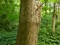 Tilia platyphyllos 'Laciniata' – Woluwé-Saint-Pierre, Parc Parmentier –  18 Juin 2014