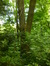 Frêne commun – Woluwé-Saint-Pierre, Parc Parmentier –  18 Juin 2014
