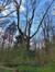 Gewone es – St.- Pieters - Woluwe, Parmentierpark –  13 April 2021