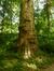Platane à feuille d'érable – Woluwé-Saint-Pierre, Parc Parmentier –  17 Juin 2014