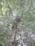 Charme commun – Koekelberg, Parc Elisabeth –  18 Juin 2014