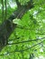 Chêne rouge d'Amérique – Koekelberg, Parc Elisabeth –  18 Juin 2014