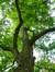 Gewone acacia – Koekelberg, Elisabethpark –  18 Juni 2014