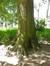 Tilleul argenté – Koekelberg, Parc Elisabeth –  18 Juin 2014