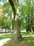Frêne commun – Koekelberg, Parc Elisabeth –  18 Juin 2014
