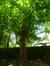Ptérocaryer à feuilles de frêne – Jette, Parc Titeca, Avenue de l'Exposition Universelle, 425 –  23 Juin 2014