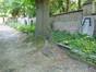 Chêne rouge d'Amérique – Uccle, Cimetière du Dieweg –  07 Juillet 2014