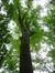 Chêne rouge d'Amérique – Bruxelles, Site de l'Hôpital Brugmann , Avenue Ernest Masoin –  14 Juillet 2014