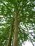 Févier d'Amérique – Jette, Parc Roi baudouin phase 2 –  22 Juillet 2014