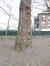 Peuplier du Canada – Jette, Parc Roi Baudouin phase 1 –  21 Mars 2018