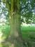 Acer saccharinum var. laciniatum – Jette, Parc Roi Baudouin phase 1 –  25 Juillet 2014