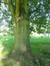 Acer saccharinum var. laciniatum – Jette, Koning Baudouwijnpark –  25 Juli 2014