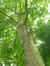 Platane à feuille d'érable – Watermael-Boitsfort, Avenue Emile Van Becelaere, 24-26 –  29 Juillet 2014