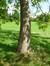 Catalpa commun – Bruxelles, Parc public de Laeken –  10 Septembre 2014