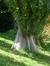 Peuplier d'Italie – Woluwé-Saint-Pierre, Parc de Woluwe –  16 Septembre 2014