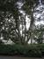 Acer platanoides f. rubrum