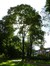 Acer platanoides f. globosum