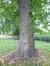 Tilleul à larges feuilles – Bruxelles, Parc public de Laeken –  01 Octobre 2014