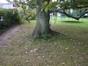Chêne pédonculé – Watermael-Boitsfort, Avenue de la Tenderie, 35 –  02 Octobre 2014