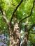Robinier faux-acacia – Bruxelles, Parc public de Laeken –  03 Octobre 2014