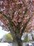 Cerisier du Japon – Ganshoren –  21 Avril 2015