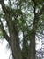 Salix babylonica 'Tortuosa' – Jette, Landschap van het Brugmann Hospitaal, Ernest Masoinlaan, 4 –  21 Oktober 2014