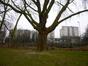 Platane à feuille d'érable – Molenbeek-Saint-Jean, Parc Marie José –  11 Février 2015