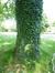 Populus sp – Anderlecht, Parc Scheutveld, Avenue Commandant Vander Meeren –  04 Juin 2015