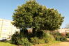 Cerisier du Portugal – Bruxelles, Square Prince Léopold –  05 Novembre 2020