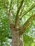 Platane à feuille d'érable – Etterbeek, Avenue Commandant Lothaire, 34 –  17 Juin 2015