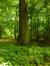 Chêne pédonculé – Auderghem, Forêt de Soignes –  29 Juin 2015