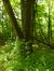 Saule blanc – Auderghem, Forêt de Soignes –  29 Juin 2015