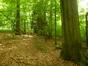 Hêtre d'Europe – Auderghem, Forêt de Soignes –  29 Juin 2015