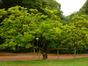 Magnolier de Soulange