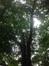 Chêne rouge d'Amérique – Watermael-Boitsfort, Parc du château Bischoffsheim, Kattenberg –  13 Juillet 2015
