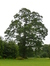 Chêne pédonculé – Uccle, Hippodrome de Boitsfort –  23 Juillet 2015