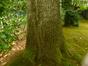 Chêne pédonculé – Uccle, Avenue Blücher, 160 –  28 Juillet 2015