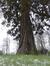 Sequoia géant – Bruxelles, Site de l'avenue de Madrid, Avenue de Madrid –  12 Février 2013