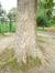 Platane à feuille d'érable – Ganshoren, Parc du Mennegat, Rue Vanderveken –  08 Septembre 2015
