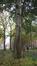 Peuplier tremble – Anderlecht, Ecole vétérinaire de Cureghem –  08 Octobre 2015