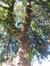 Faux-cyprès de Lawson – Woluwé-Saint-Pierre, Cimetière de Woluwe-Saint-Pierre, Chaussée de Stockel, 301 –  04 Décembre 2015