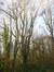 Saule blanc – Berchem-Sainte-Agathe, Bois du Wilder, Rue du Wilder –  08 Décembre 2015