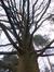 Quercus sp – Watermael-Boitsfort, Cimetière de Watermael-Boitsfort, Rue du Buis, 57 –  15 Décembre 2015