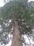 Sequoia géant – Uccle, Avenue du Prince d'Orange, 97 –  13 Avril 2016