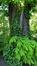 Marronnier commun – Forest, Parc Jupiter –  04 Mai 2016