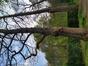 Zilverlinde – Vorst, Jacques Brel park –  30 April 2021