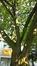 Cerisier du Japon – Ixelles –  13 Juillet 2016